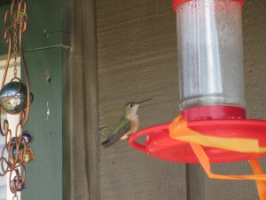 Hummingbird at the hostel!